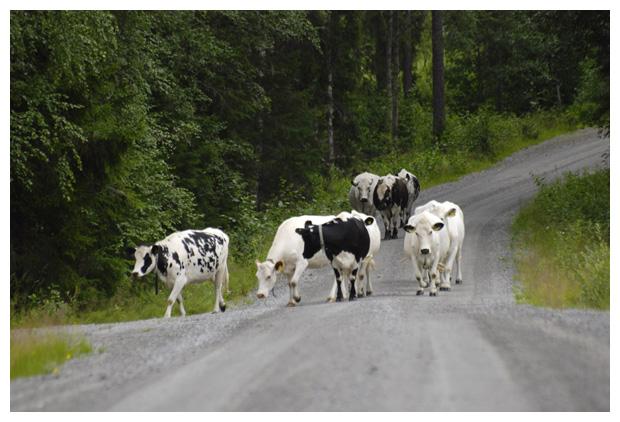 foto's, koe, koeien, koeienfotos, koeienfoto´s