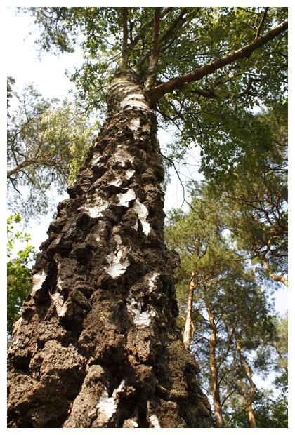 ruwe berk (betula pendula, synoniem: verucosa)