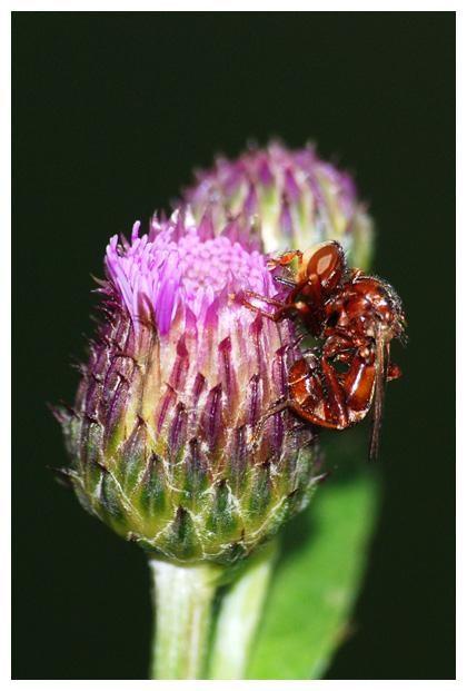 foto's, Roestbruine kromlijf (Sicus ferrugineus)
