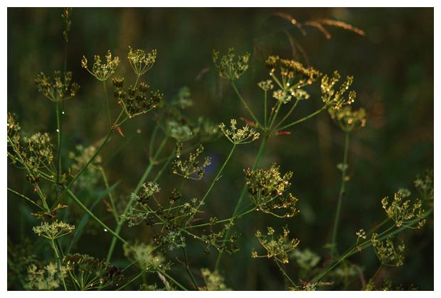 foto's, Fluitenkruid (Anthriscus sylvestris), plant