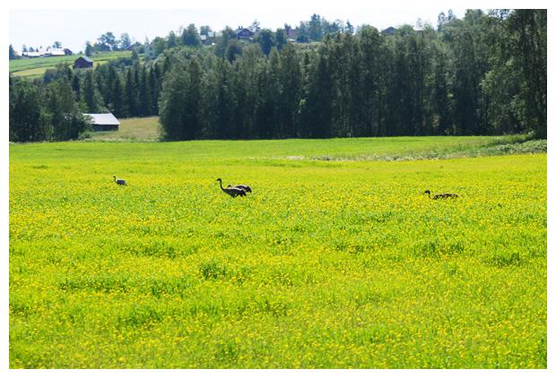 foto's, Europese -of Euraziatische kraanvogel (Grus grus), vogel