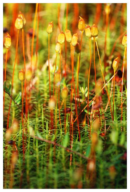 foto's, Gewoon haarmos (Polytrichum commune), mos