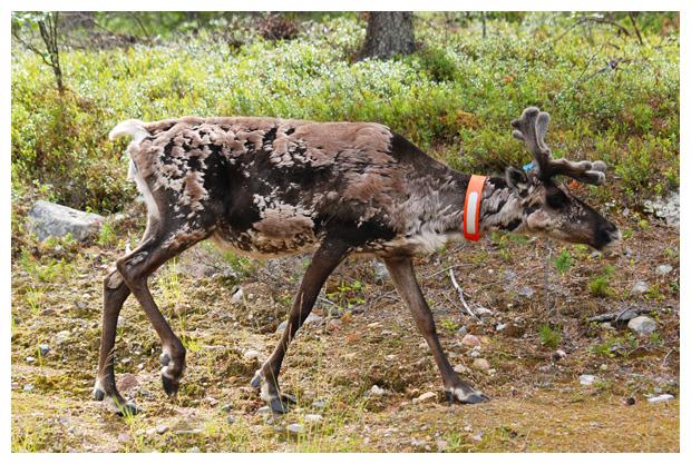 foto's, Norrbottens län, Zweden, Lapland