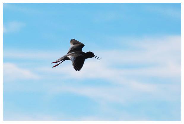 foto's, Tureluur (Tringa totanus), vogel