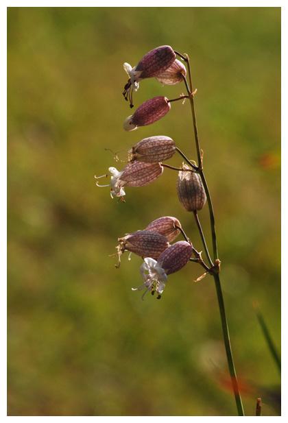 foto´s, Blaassilene (Silene vulgaris), plant