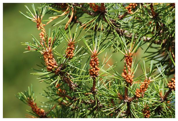 foto's, Grove den (Pinus sylvestris)
