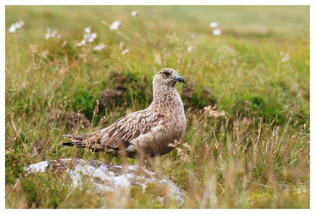 Grote jager (Stercorarius skua), vogel