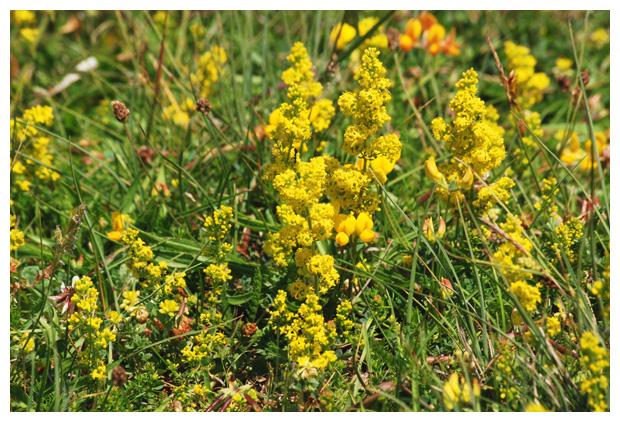 foto's, Geel, echt walstro (Galium verum), plant