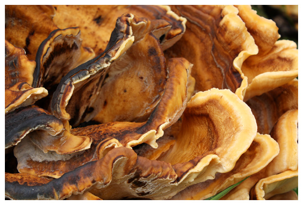 foto's, Reuzenzwam (Meripilus giganteus), paddenstoel