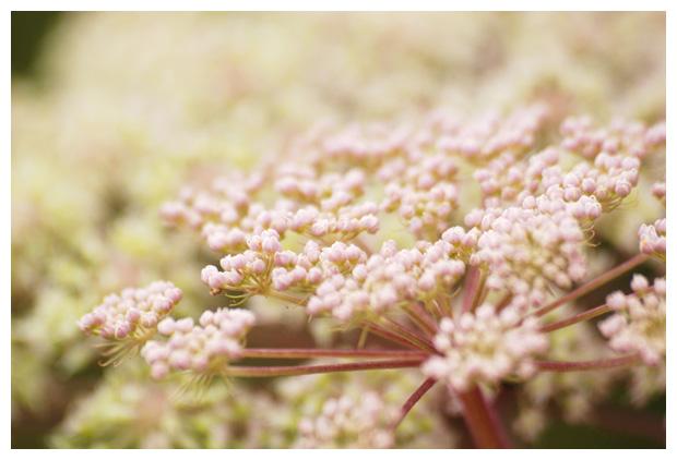 foto's, Gewone engelwortel (Angelica sylvestris), plant