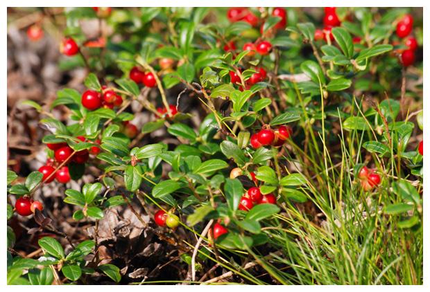 Rode bosbes, vossenbes (Vaccinium vitis-idaea)