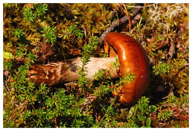 foto´s, Gegordelde gordijnzwam (Cortinarius trivialis), paddenstoel