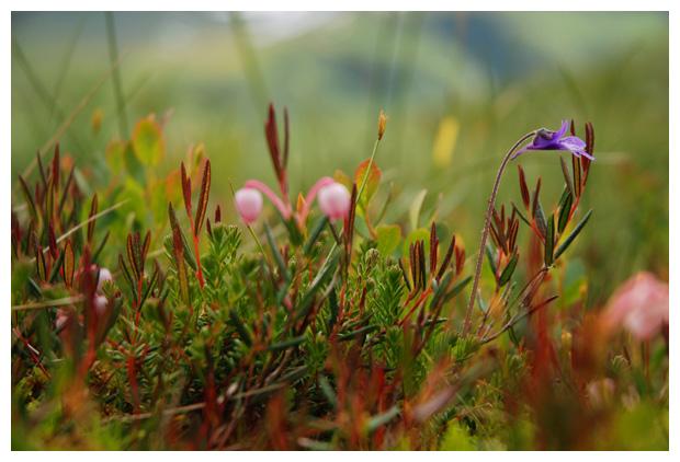 foto's, Lavendelhei (Andromeda polifolia), heide