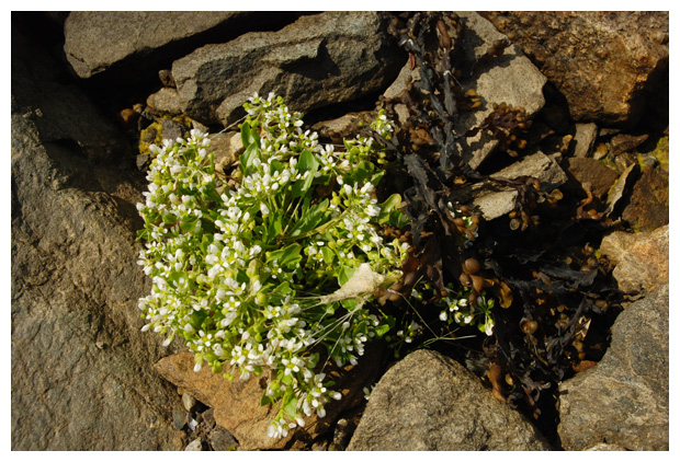 foto's, Engels lepelblad (Cochlearia officinalis)