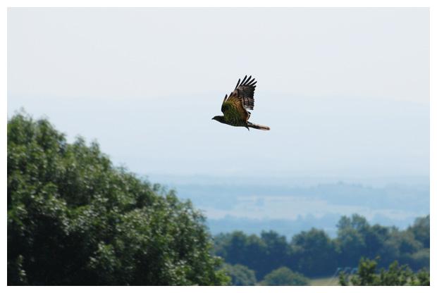 foto's, Wespendief (Pernis apivorus), vogel