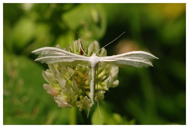 foto, Sneeuwwitte, Vijfvingerige of Witte vedermot (Pterophorus pentadactyla), nachtvlinder