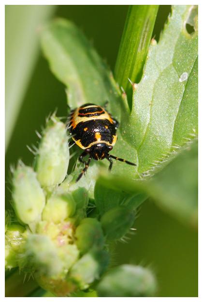 foto's, Koolschildwants (Eurydema oleracea), wants
