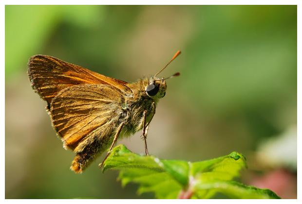 foto´s, Geelsprietdikkopje (Thymelicus sylvestris), vlinder