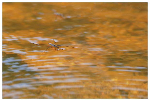 foto's, Schaatsenrijder (Gerris lacustris), wants