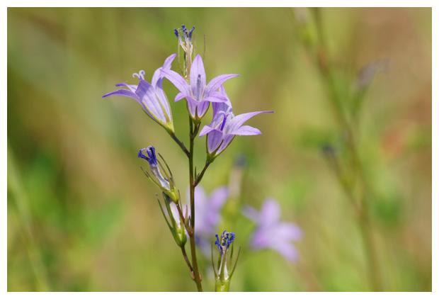 foto, Klokjesgentiaan (Gentiana pneumonanthe), plant