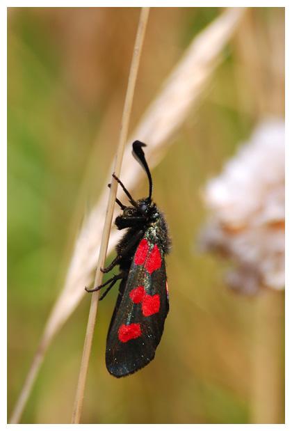 foto's, Vijfvlek-sint-jansvlinder (Zygaena trifolii), nachtvlinder