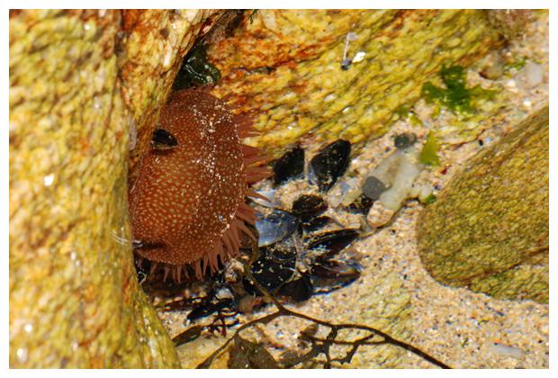 foto's, Aardbeianemoon (Actinia fragacea), zeeanemoon