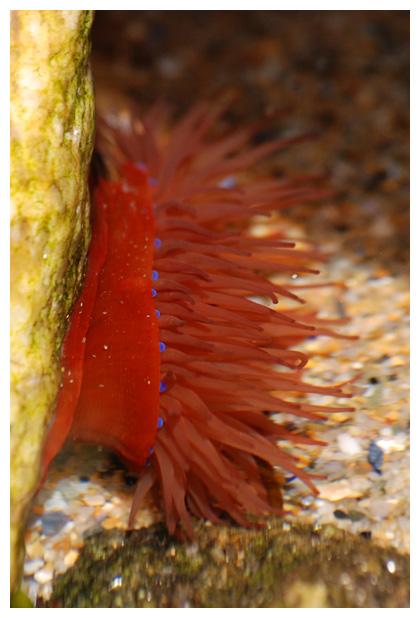 foto's, Rode paardenanemoon (Actinia equina), zeeanemoon
