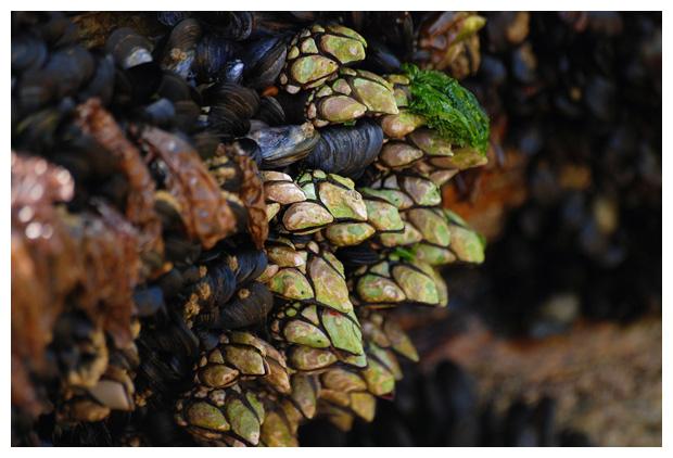 foto´s, diverse soorten, verschillende Eendenmosselen (Pollicipes pollicipes)