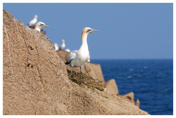 foto's, Jan-van-Gent (Morus bassanus of Sula bassana), vogel