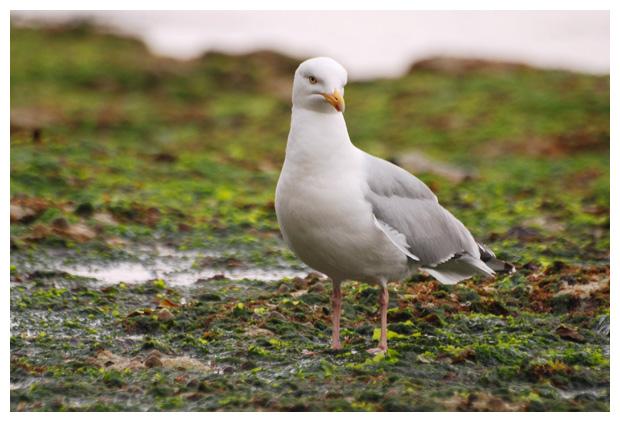 foto's, Zilvermeeuw (Larus argentatus), vogel