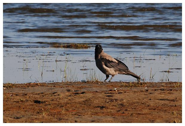 foto´s, Bonte kraai (Corvus cornix), vogel