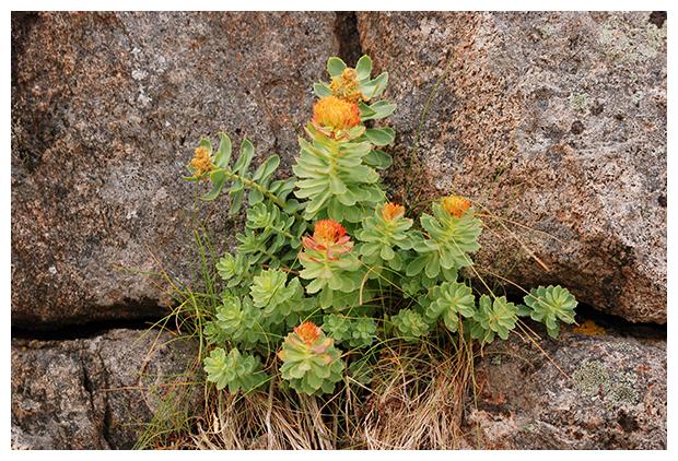 foto's, Rozewortel (Rhodiola rosea), vetplant, Noorwegen