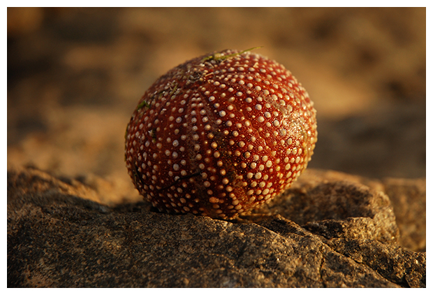 foto's, Eetbare zeeappel (Echinus esculentus), zee-egel