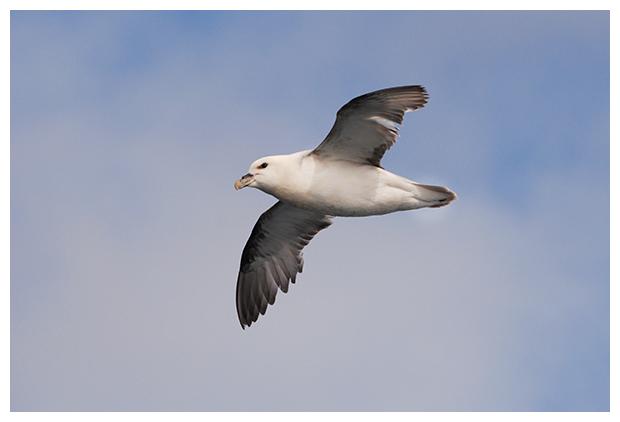 foto's, Noordse stormvogel (Fulmarus glacialis), zeevogel