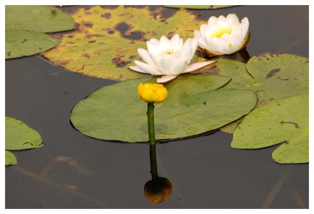 foto's, Gele plomp (Nuphar lutea), waterplant