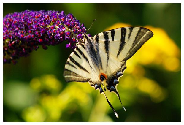 foto's, Koningspage (Iphiclides podalirius), vlinder