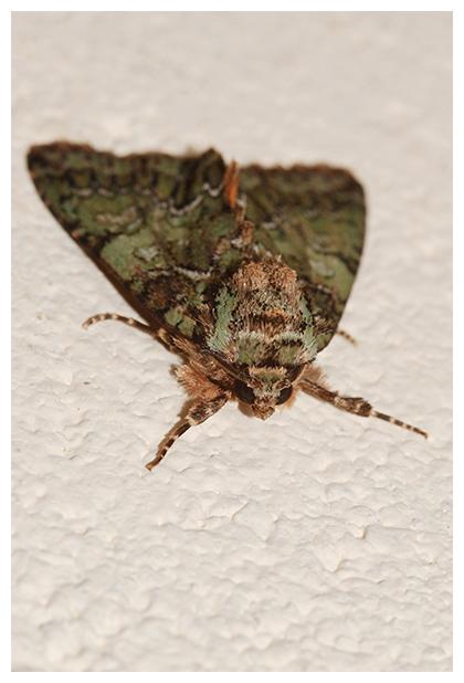 foto´s, Groene korstmosuil (Nyctobrya muralis), vlinder