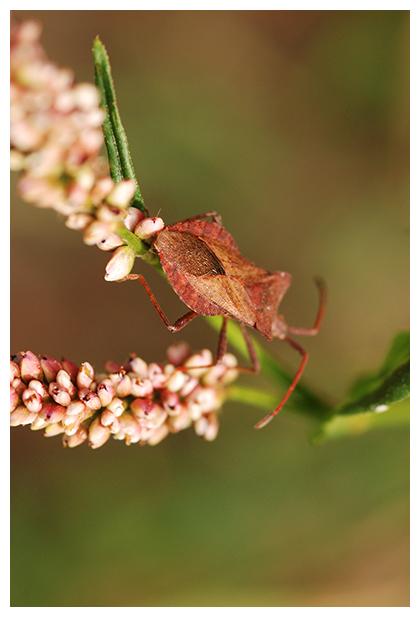 foto, Zuringrandwants (Coreus marginatus), wants