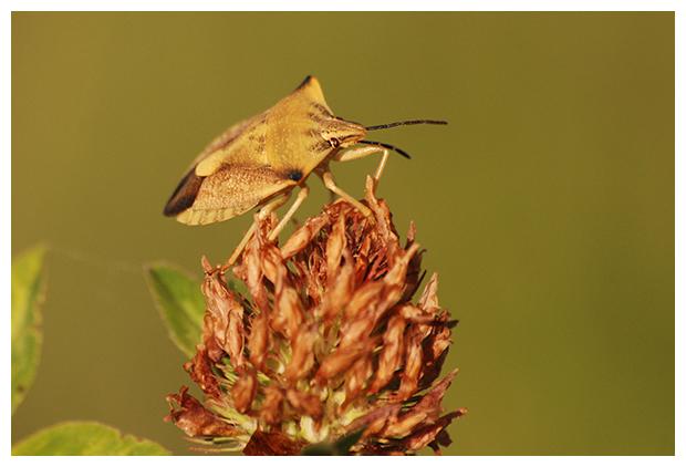 foto's, Beemdkroonschildwants, voorheen Vruchtenschildwants (Carpocoris fuscispinus), wants