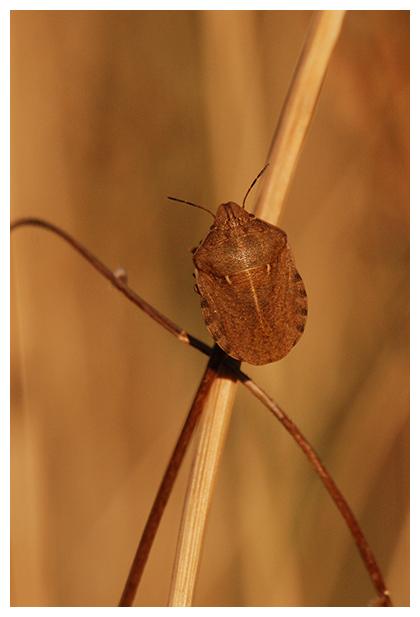 foto's, Gewone pantserwants (Eurygaster testudinaria), wants