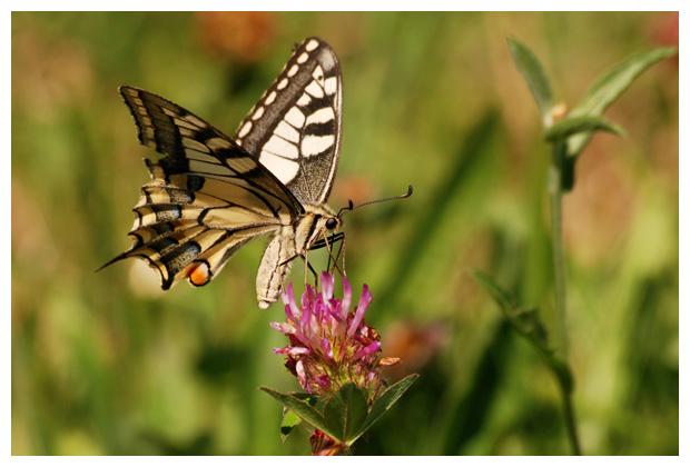 foto's, Koninginnenpage (Papilio machaon), vlinder