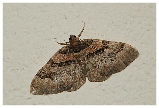 foto's, Roodbruine walstrospanner (Catarhoe rubidata), nachtvlinder