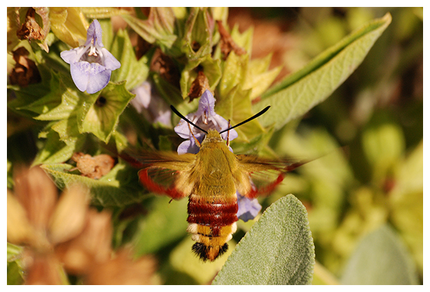foto's, Glasvleugelpijlstaart (Hemaris tityus), nachtvlinder