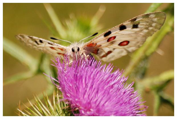 foto's, Apollovlinder (Parnassius apollo), vlinder