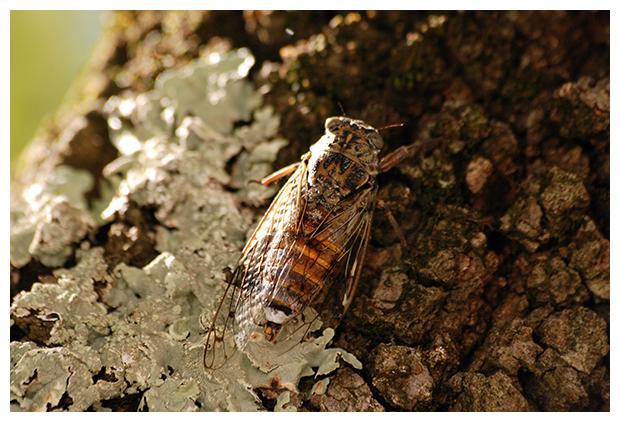 foto´s, Kraakcicade of Mannacicade (Cicada orni), cicade