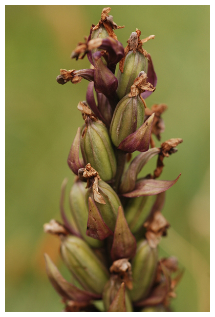 foto´s, Brede orchis (Dactylorhiza majalis), orchidee, orchidee
