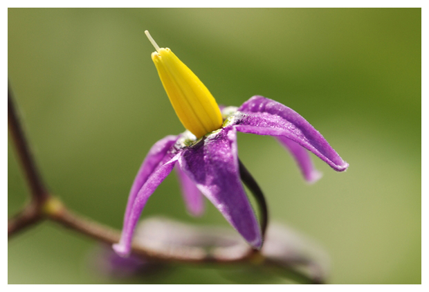 foto´s, Bitterzoet (Solanum dulcamara), plant