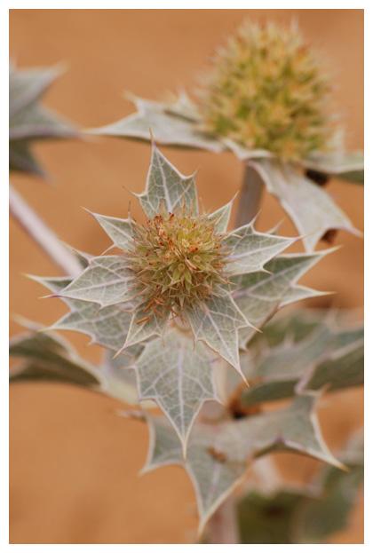foto's, Blauwe zeedistel (Eryngium maritimum), distel