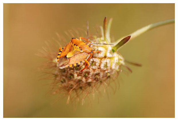 foto's, Carpocoris mediterraneus, wants