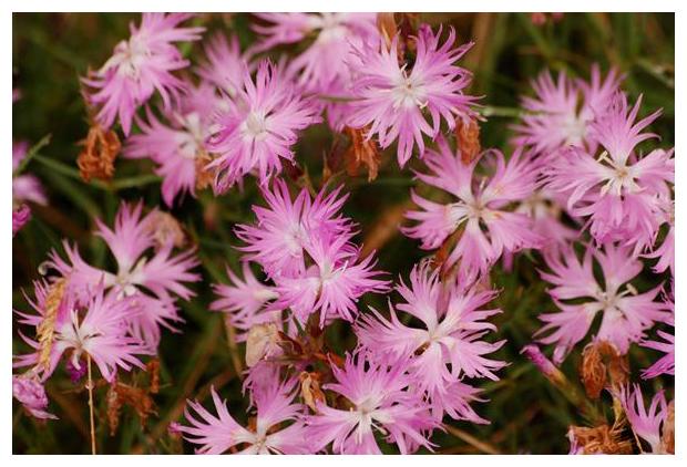 foto, Dianthus hyssopifolius, plant